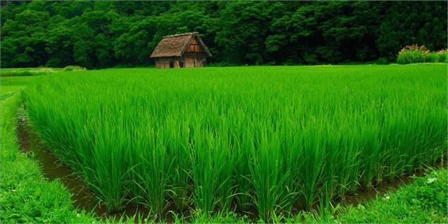 کشاورزی استان با تامین 42 درصد برنج کشور بودجه ملی میخواهد