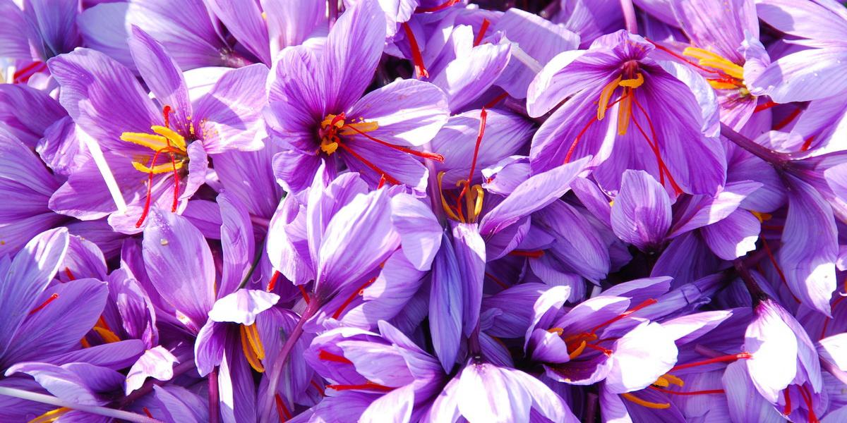 حمایت آمریکا از تولید انبوه زعفران در افغانستان/ ضعف بستهبندی نداریم اما قیمت تمام شده بالا است