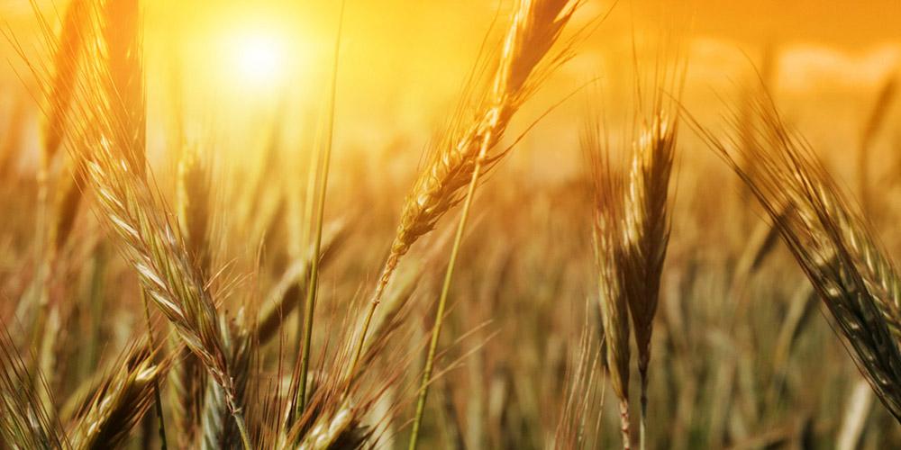 ورود به سال ۹۶ با ۹ میلیون تن گندم مازاد