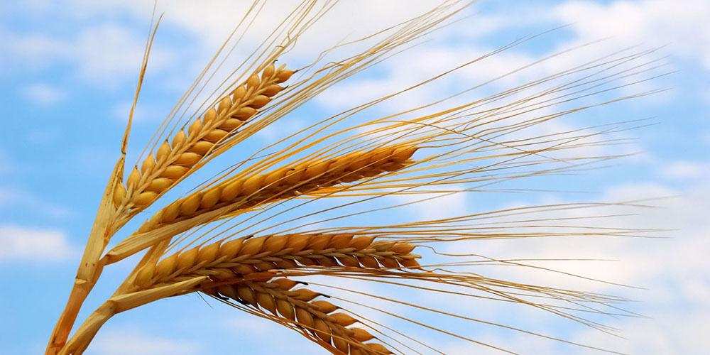 مجوز صادرات 3 میلیون تن آرد گندم داده شد/ ذخیره 9 میلیون تنی گندم