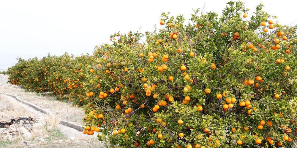 صدور مجوز واردات نارنگی در روزهای آینده/ آواکادوی قاچاق جمع میشود