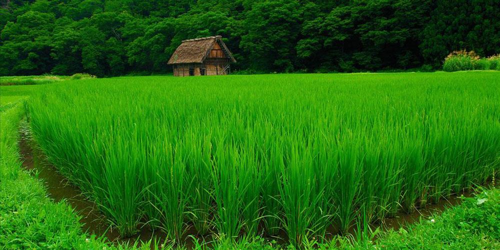 تدوین برنامه 5 ساله کاهش تولید برنج در برنامه ششم توسعه