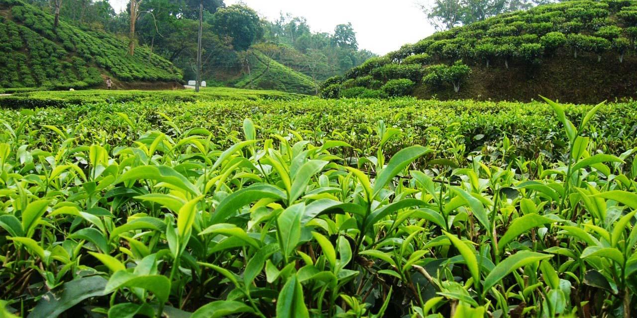 قیمت خرید تضمینی برگ سبز چای