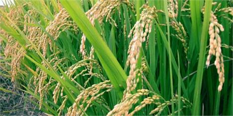 کمبود برنج نداریم/ حداکثر قیمت ۱۲ هزار تومان