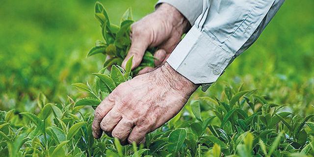 آغاز فصل برداشت برگ سبز چای از هفته آینده