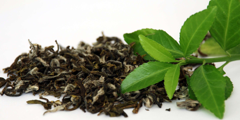 چایهای فاسد پس از فصل برداشت تعیین تکلیف میشوند