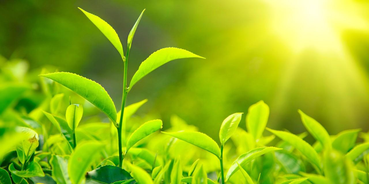 تولید برگ سبز چای کاهش یافت