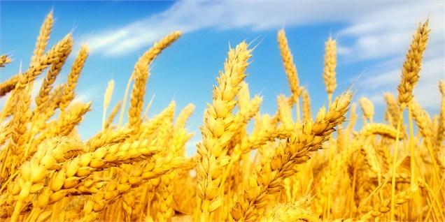 14 هزار تن گندم امسال از مزارع کشاورزی زابل برداشت میشود