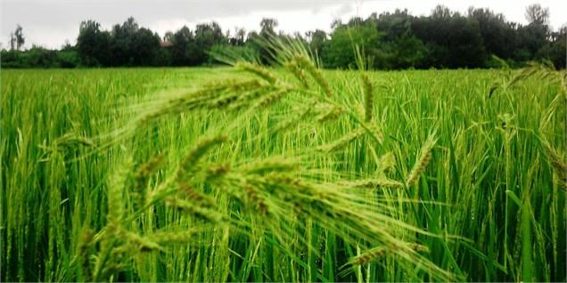 تولید گندم ایران امسال ۲۵ درصد بیش از میانگین ۵ سال اخیر میشود