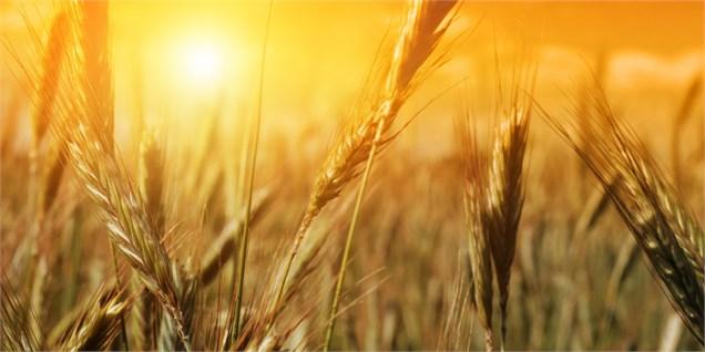 سطح زیرکشت گندم در سمنان سه هزار و 900 هکتار کاهش یافت