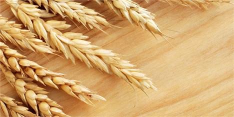امسال یک میلیون تن گندم مازاد صادر میشود