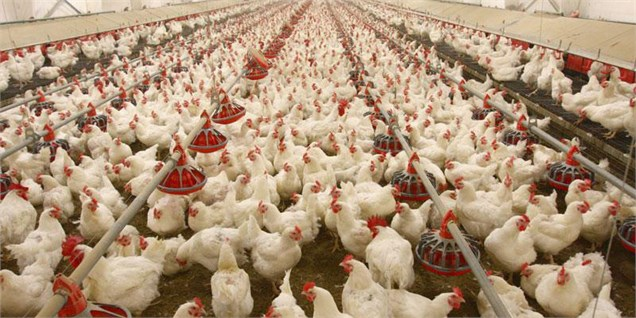 نرخ جدید مرغ و انواع مشتقات آن/کاهش جزئی قیمت در بازار