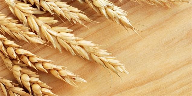 71 هزار تن گندم مازاد بر مصرف کشاورزان سیستان و بلوچستان خریداری شد