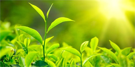 78 هزار تن برگ سبز چای از چایکاران شمال کشور خریداری شده است