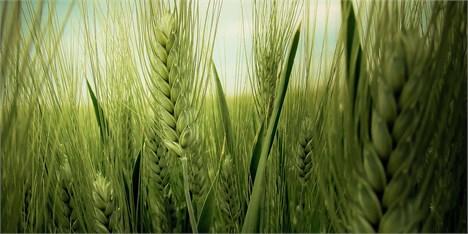 عرضه ۴۱ هزار تن گندم خوراکی در قالب طرح قیمت تضمینی