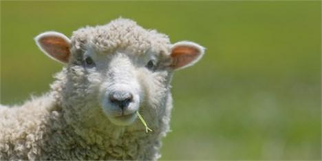 صادرات پوست گوسفندی ۲۴۰ میلیاردی شد