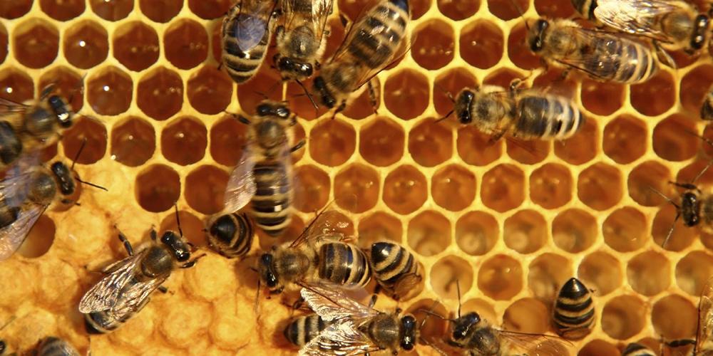 صنعت زنبورداری به کما می رود/اما و اگرهای واردات ملکه زنبور عسل