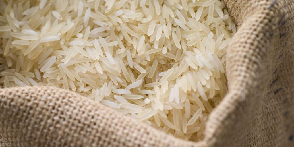 سالم ترین برنج گیلان در حال برداشت است