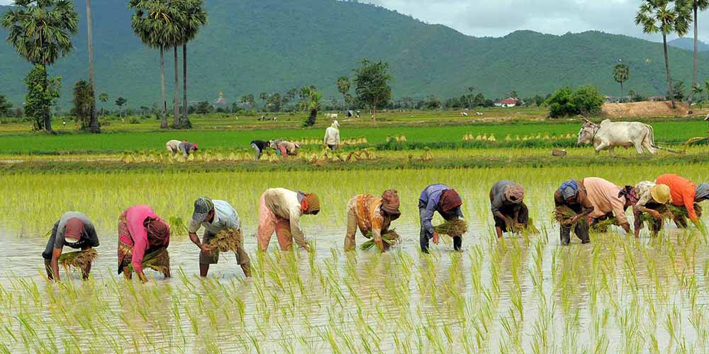 تولید ۲.۲ میلیون تنی برنج/ برنج نو کیلویی ۹۰۰۰ تومان