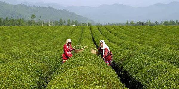 هر هفته مقداری از مطالبات چایکاران را پرداخت میکنیم/ 86 هزار تن برگ سبز چای خریداری شده است