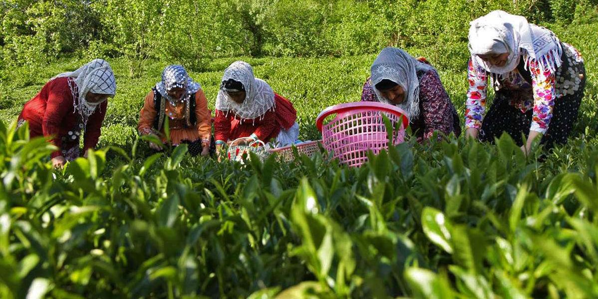 ۸۸ هزارتن برگ سبز چای خریداری شد/ هر کیلو چای سفید یک میلیون و ۲۰۰ هزار تومان