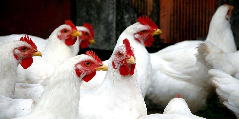دلایل کاهش قیمت مرغ/ دولت وارد بازار میشود