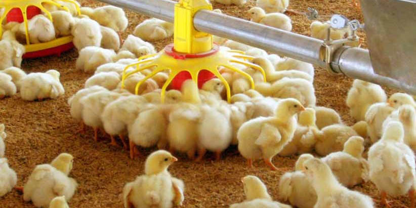 تعادل نرخ مرغ در بازار/ قیمت جوجه یکروزه آرام گرفت