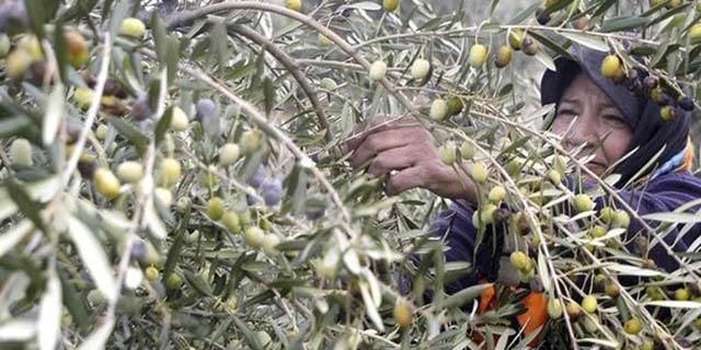 آغاز فصل برداشت زیتون در کشور/ کاهش ۱۵ درصدی قیمتها