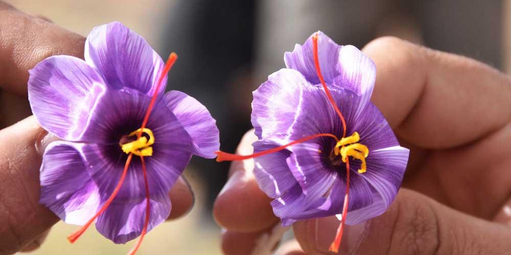 صادرات زعفران در کما