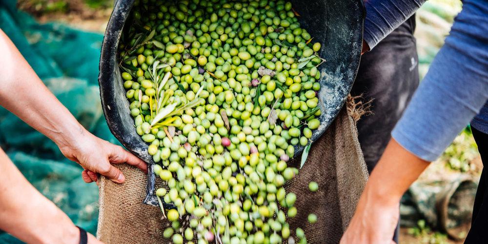 افزایش تولید جهانی روغن زیتون در سال زراعی جاری
