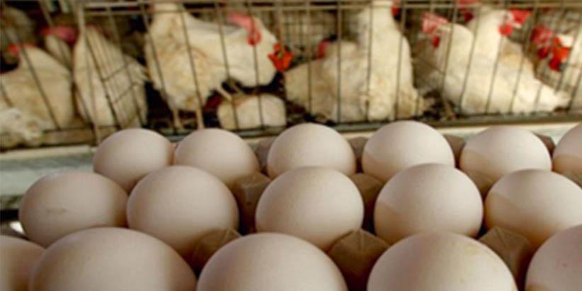 آنفلوانزای فوق حاد پرندگان قابل انتقال به انسان نیست