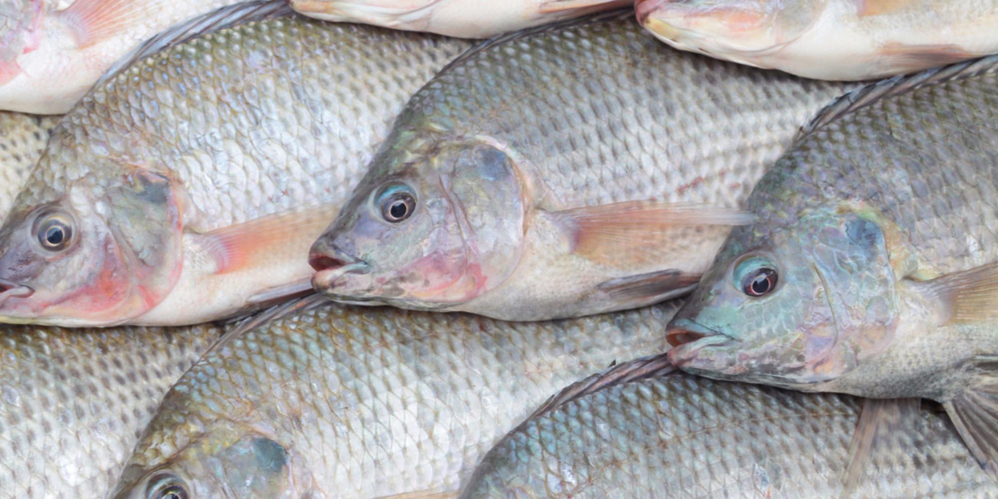 عدم صحت ممنوعیت واردات ماهی تیلاپیا