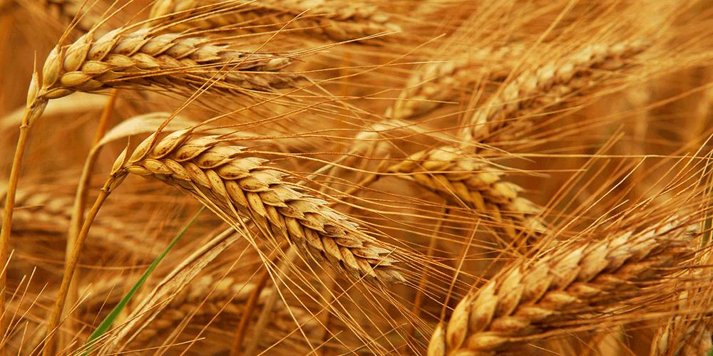 فائو کاهش ۱۱ درصدی «تولید گندم ایران» در سال  ۲۰۱۸ را پیشبینی کرد