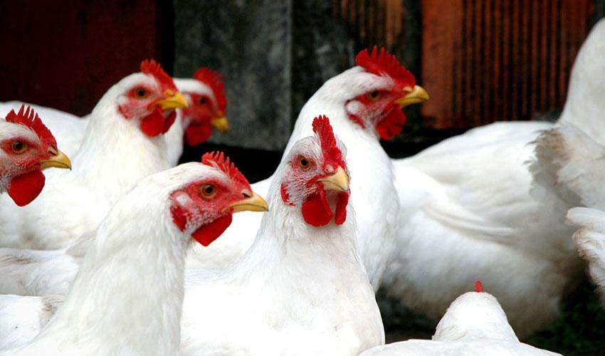معاون وزیر جهاد کشاورزی: ایران هفتمین کشور تولید کننده مرغ گوشتی در جهان