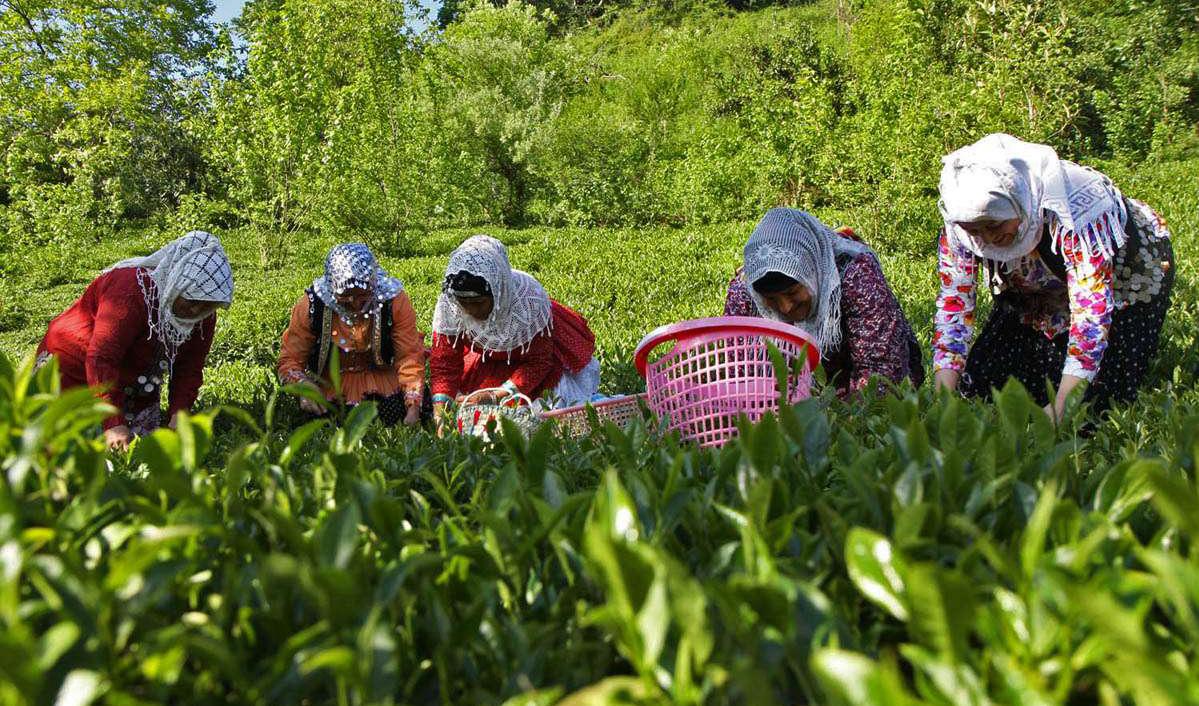 بازارهای هدف چای ایرانی واگذار میشود؟