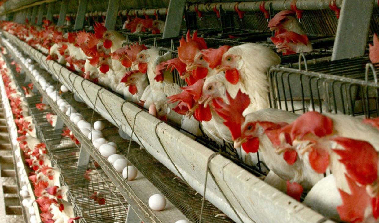 کنفرانس جهانی آنفلوآنزای پرندگان راهگشای صنعت طیور