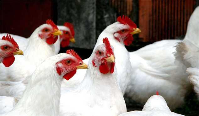 قیمت گوشت مرغ را کمبود دان بالا برد