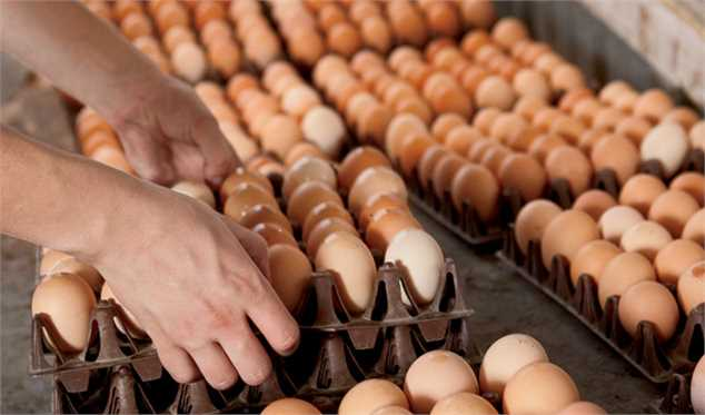 آغاز توزیع تخم مرغ از این هفته با قیمت تنظیم بازار