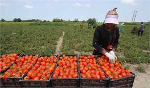 افزایش قیمت گوجه فرنگی ناشی از محدودیت فصلی تولید است