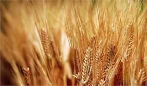 هدفگذاری تولید ۱۳.۵ میلیون تن گندم در سال زراعی جاری
