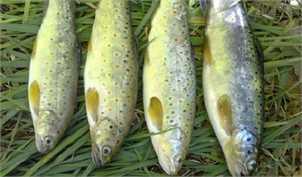 اختلال در سیستم توزیع و حضور گسترده واسطهها، ماهی را گران کرد