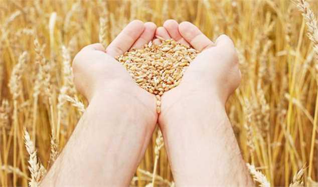 اسماعیل اسفندیاریپور:  100 درصد بذر گندم در داخل تولید میشود