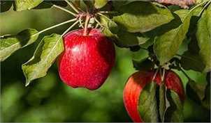 در ۹ ماهه امسال، صادرات سیب درختی افزایش یافت