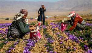 نگرانی زعفران کاران با توسعه ابزارهای جدید مالی در بورس کاهش مییابد