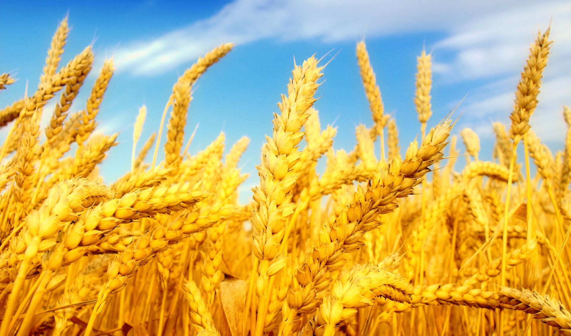 بینیازی از واردات گندم برای سومین سال پیاپی