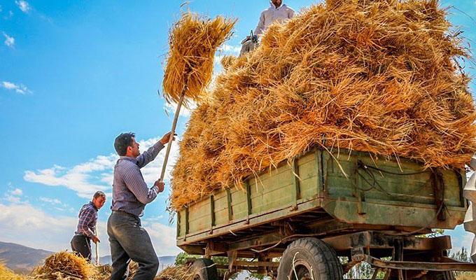 تولید جهانی گندم افزایش پیدا میکند