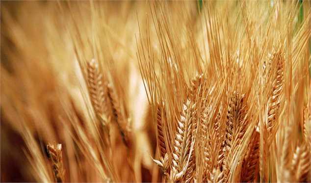 افزایش محصول گندم در مناطق خشک تا ۶ برابر/ کمبود نداریم