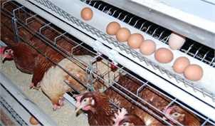 تولید بیش از نیاز مرغ و تخممرغ در کشور/ بازارهای صادراتی باید فعال شود