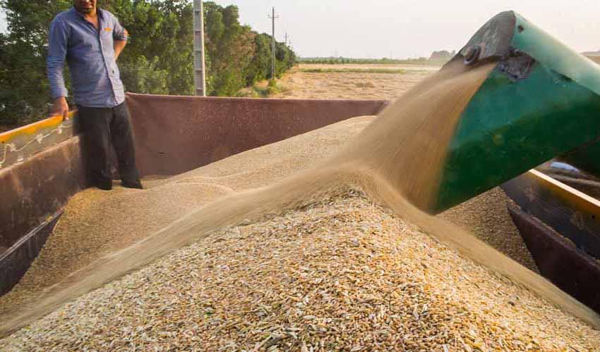 کشاورزان در تحویل گندم به دولت دچار تردید شدهاند