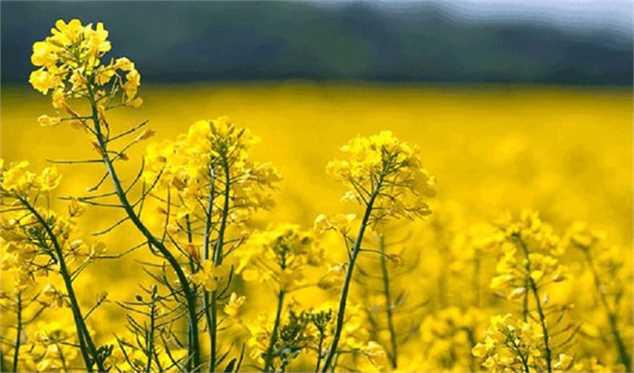 طرح کاهش ۵۰ درصدی وابستگی کشور به واردات دانههای روغنی